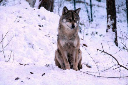 lupo_inverno2